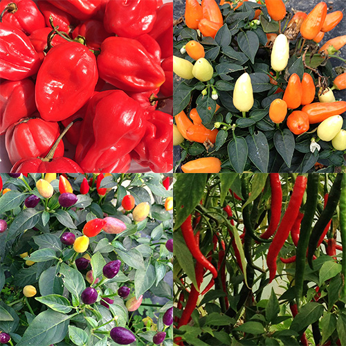 chilli-square-blog